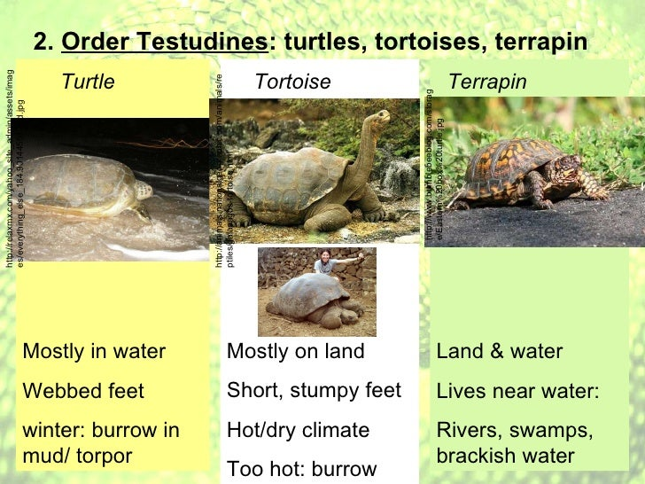 Reptile notes: Notes on Class Reptilia and Orders Crocodilia, Testud ...