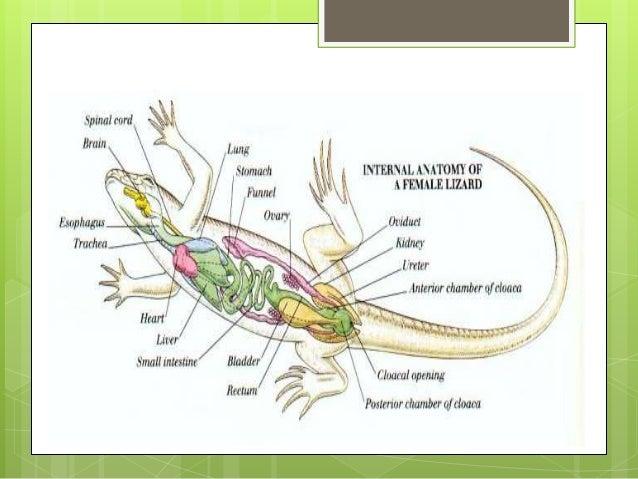 Snake Anatomy and Physiology PetEducationcom - satukis.info