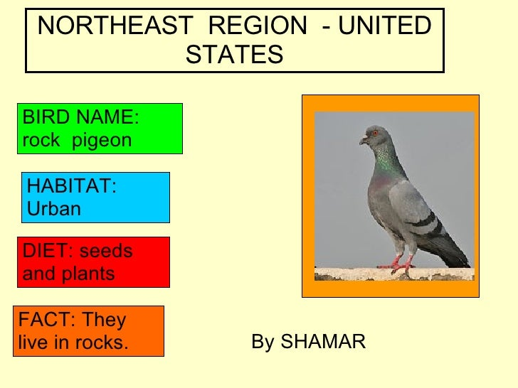 NORTHEAST  REGION  - UNITED STATES BIRD NAME: rock  pigeon HABITAT: Urban DIET: seeds and plants FACT: They live in rocks....