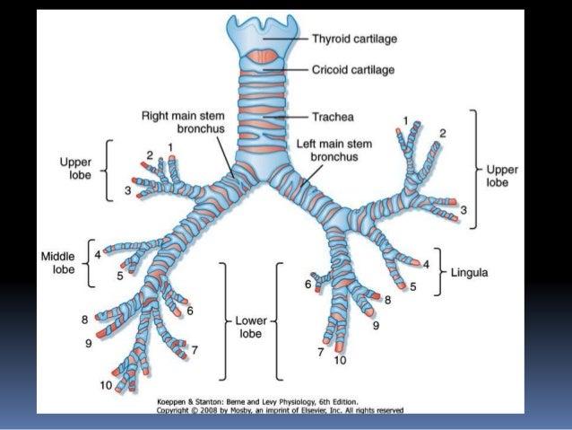 Lower airway anatomy