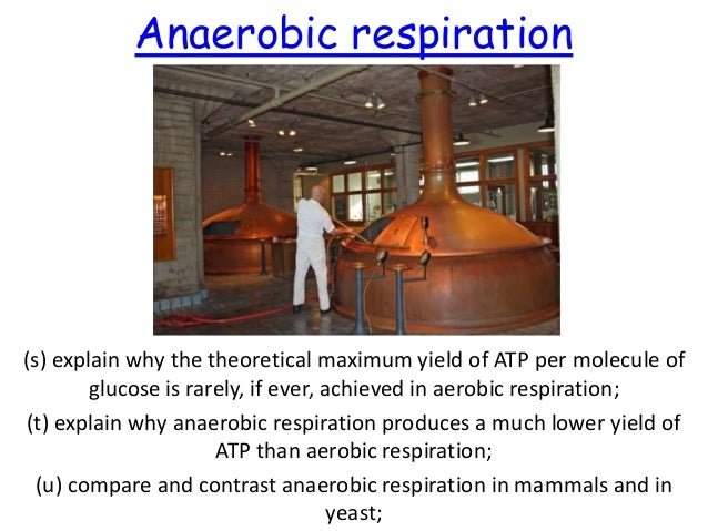 Anaerobic respiration  (s) explain why the theoretical maximum yield of ATP per molecule of glucose is rarely, if ever, ac...