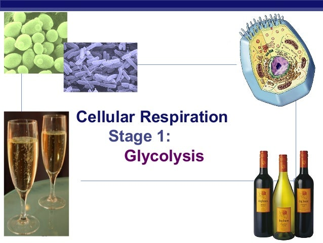 AP Biology 2007-2008 Cellular Respiration Stage 1: Glycolysis