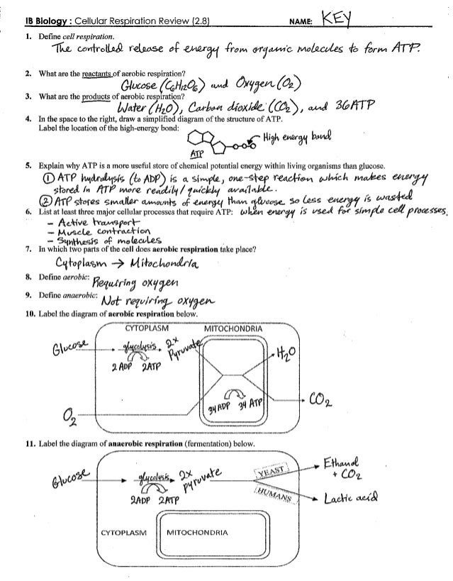 Cellular respiration worksheet answer key section a