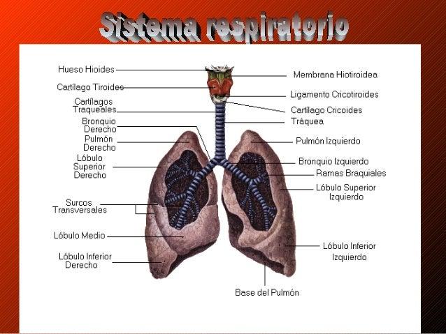 El vital oxígeno • Nuestro cuerpo es un maravilloso sistema que nunca terminamos de conocer y comprender. ¿Sabes cómo se r...