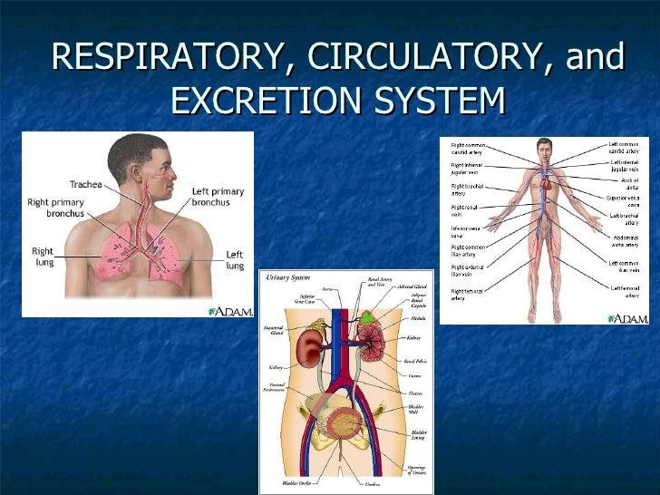 Respiratory, Circulatory, And Excretion System
