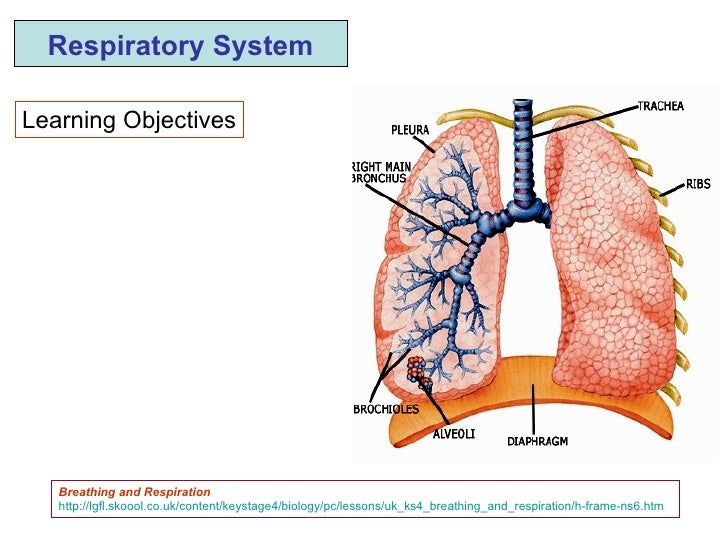 Learning Objectives Respiratory System Breathing and Respiration http://lgfl.skoool.co.uk/content/keystage4/biology/pc/les...