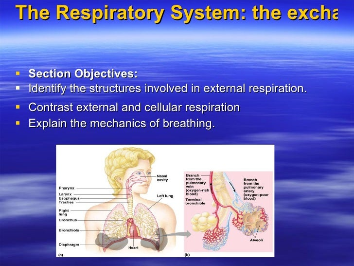 The Respiratory System: the exchange of gases  <ul><li>Section Objectives: </li></ul><ul><li>Identify the structures invol...