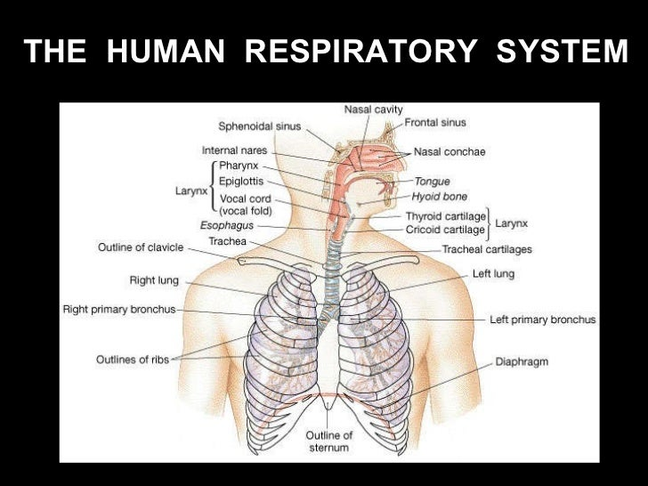 Carina Lung in addition Slideshow5 16158175 also Mesh info besides Human Body Respiratory System Diagram together with Polmoni Respirazione Emozioni Meridiani. on detailed diagram of the lungs