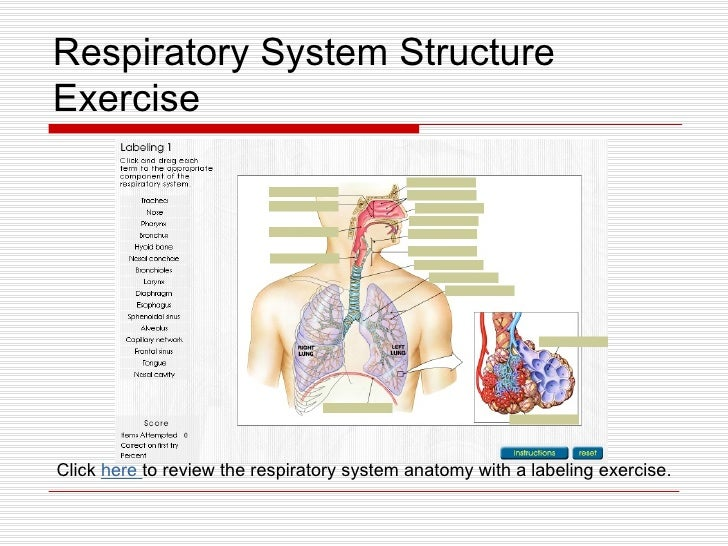 Anatomy of the respiratory system review sheet