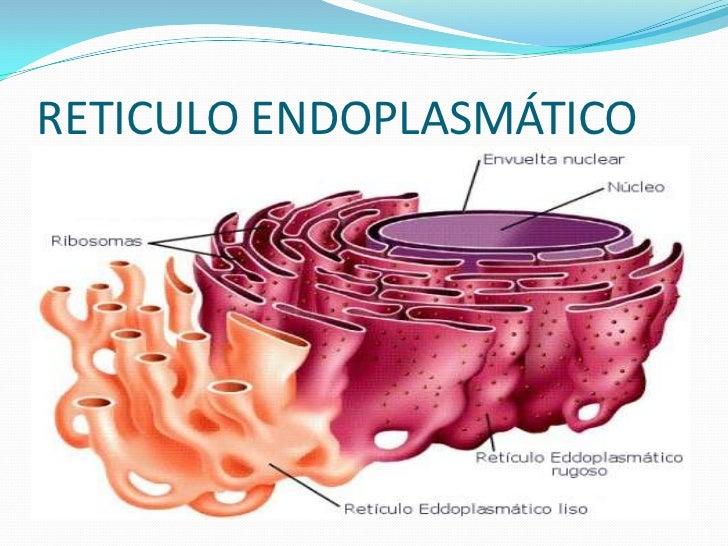 Reticulo endoplasmático