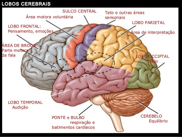 http://image.slidesharecdn.com/revisao-neuroanatomiaaula1-130517150143-phpapp02/95/aula-de-reviso-neuroanatomia-29-638.jpg?cb=1368803924