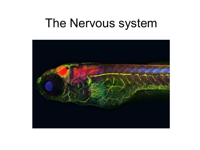 Revision   the nervous system