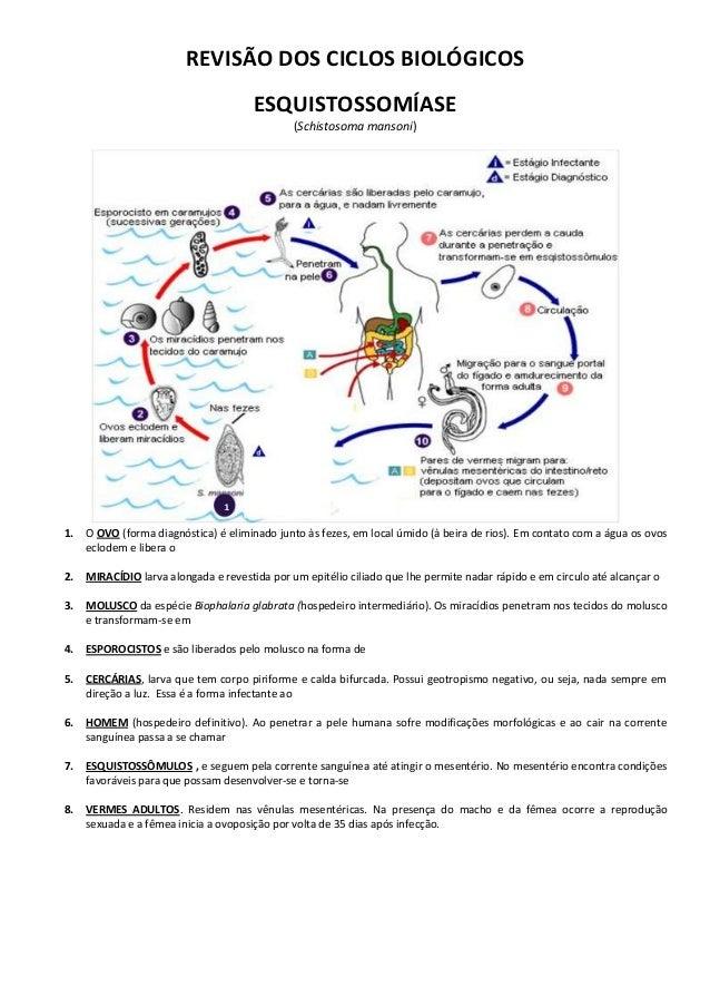 Revisão dos ciclos biológicos