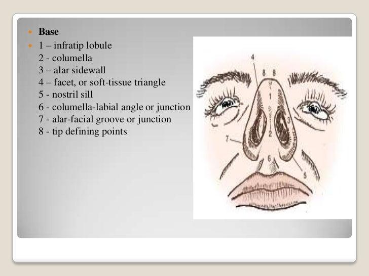 Nasal columella anatomy
