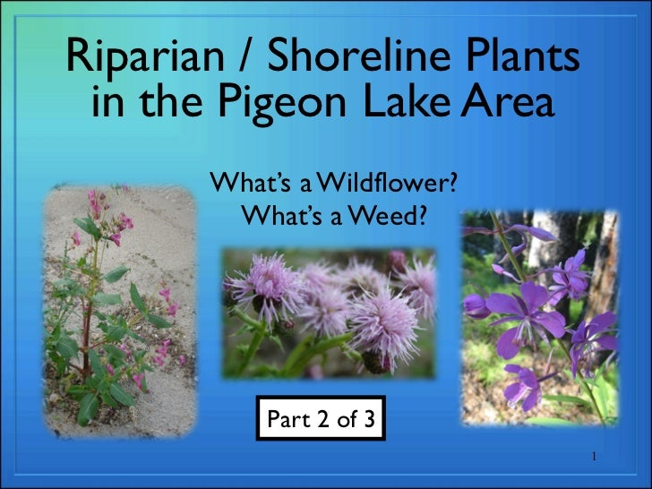 Riparian / Shoreline Plants in the Pigeon Lake Area       What's a Wildflower?        What's a Weed?           Part 2 of 3...