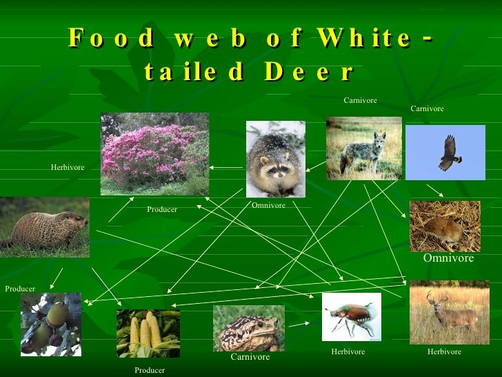 White tailed deer food web galleryhip com the hippest galleries