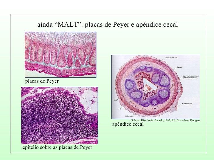 A organização do tecido linfóide