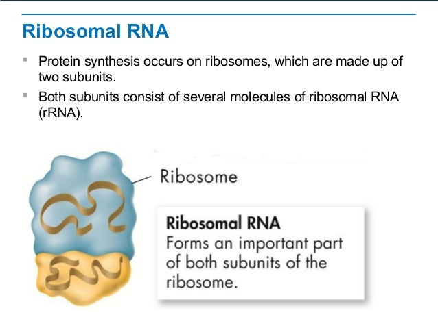 ribosomal rna sythesis The three main types of rna are messenger rna, ribosomal rna, and transfer rna messenger rna – most genes contain instructions for assembling amino acids.