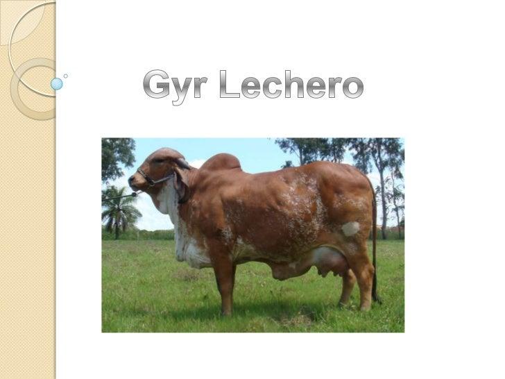  La raza GYR LECHERO es el cebú seleccionado  para producir leche. Originario de la India, se  cría allí en los templos d...