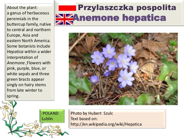Przylaszczka pospolita Anemone hepatica About the plant: a genus of herbaceous perennials in the buttercup family, native ...