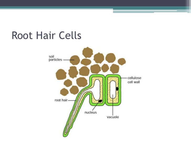 Root hair cells and water transport