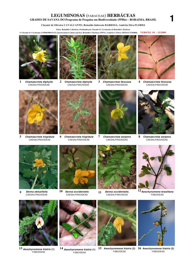 Roraima  - leguminosas (fabaceae) herbaceas de savana