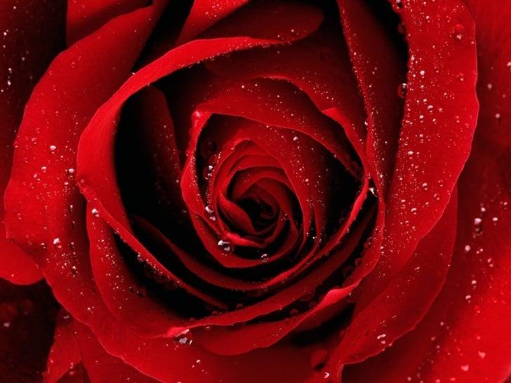 Thalia - Rosas