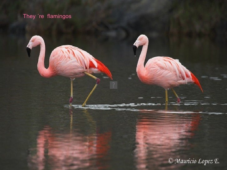 They ´re  flamingos