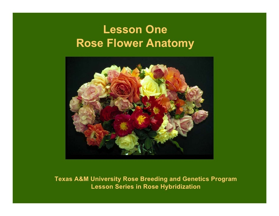 Lesson One       Rose Flower Anatomy     Texas A University Rose Breeding and Genetics Program           Lesson Series in ...