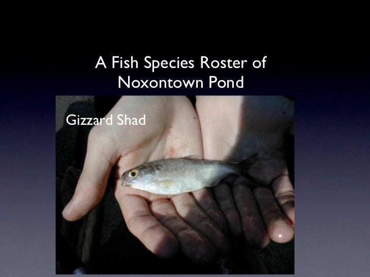 A Fish Species Roster of       Noxontown PondGizzard Shad