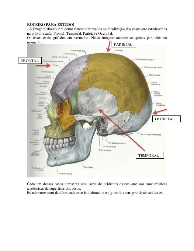 ROTEIRO PARA ESTUDO!- A imagem abaixo tem como função orienta-los na localização dos ossos que estudaremosna próxima aula:...
