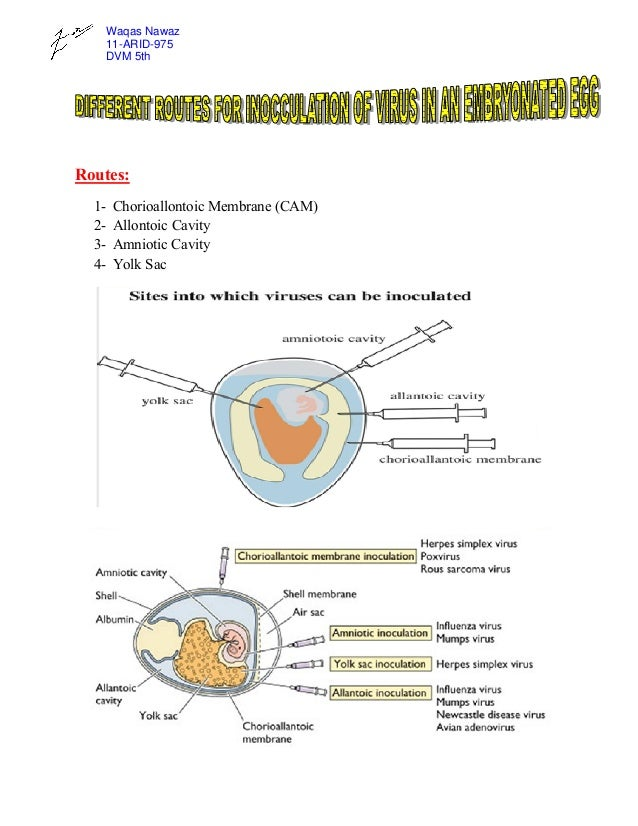 Waqas Nawaz 11-ARID-975 DVM 5th  Routes: 1234-  Chorioallontoic Membrane (CAM) Allontoic Cavity Amniotic Cavity Yolk Sac