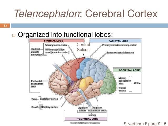 the functional organisation of the visual system Hum brain mapp 2007 dec28(12):1302-12 functional organization of human  visual cortex in occipital polymicrogyria dumoulin so(1), jirsch jd, bernasconi.