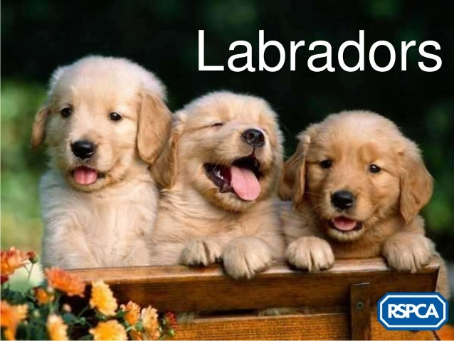 RSPCA - Labradors