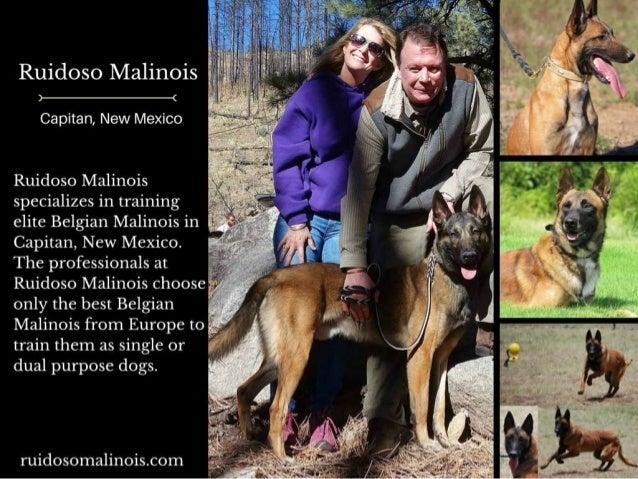 Ruidoso Malinois     Capitan,  New Mexico  Ruidoso Malinois specializes in training elite Belgian Malinois in A Capitan,  ...