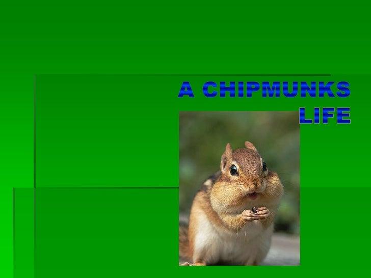 A chipmunks life<br />