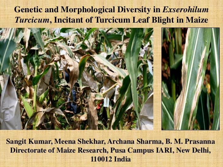 Genetic and Morphological Diversity in Exserohilum  Turcicum, Incitant of Turcicum Leaf Blight in MaizeSangit Kumar, Meena...