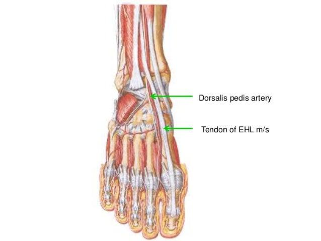 Vascular anatomy lower limb
