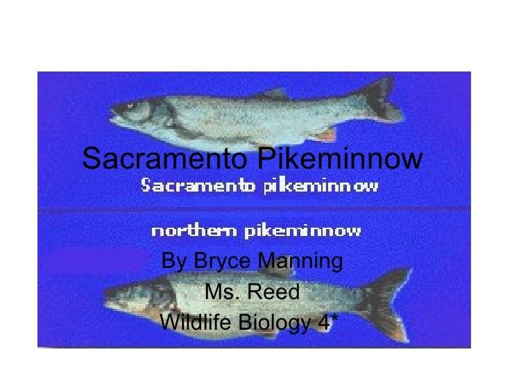 Sacramento Pikeminnow By Bryce Manning Ms. Reed Wildlife Biology 4*