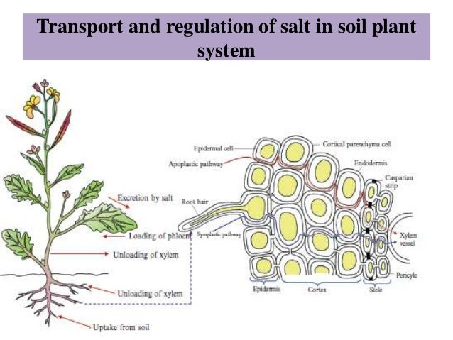 Salinity stress tolerance in plants master seminar