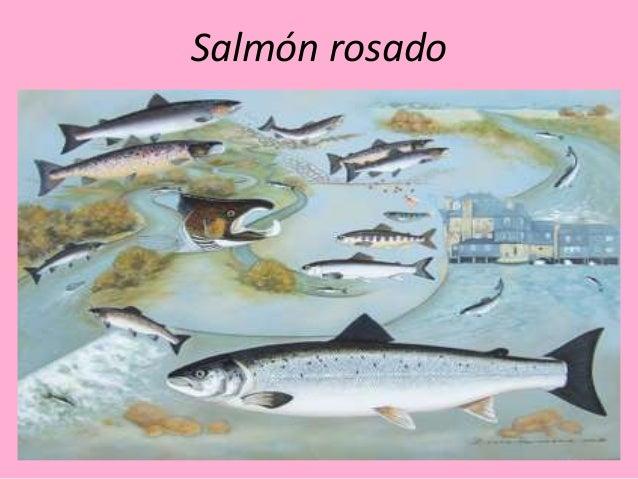 Salmón rosado