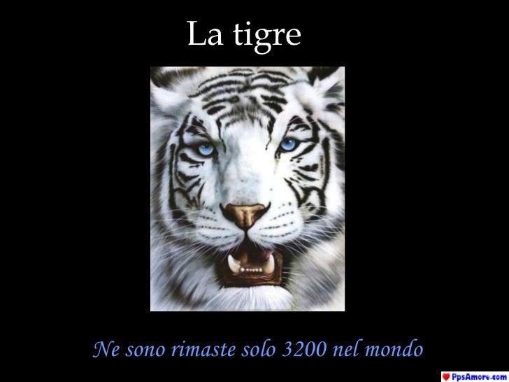 La tigre Ne sono rimaste solo 3200 nel mondo
