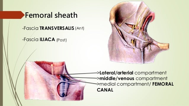 Adductor canal boundaries in dating 5