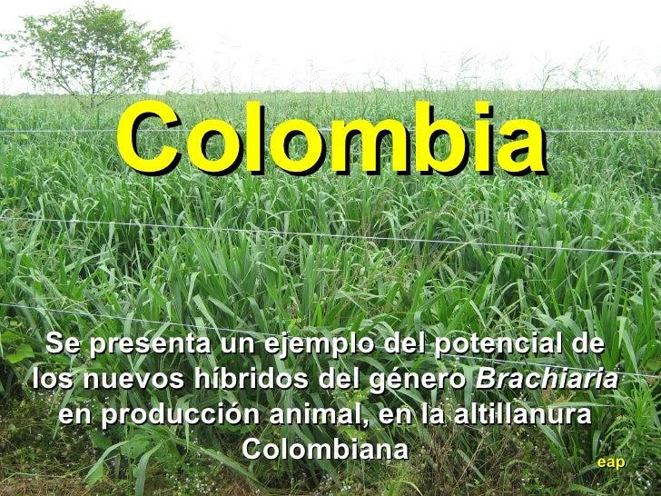 Colombia eap Se presenta un ejemplo del potencial de los nuevos híbridos del género  Brachiaria  en producción animal, en ...