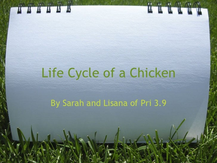 Life Cycle of a Chicken By Sarah and Lisana of Pri 3.9