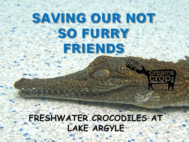 SAVING OUR NOT    SO FURRY     FRIENDSFRESHWATER CROCODILES AT LAKE           ARGYLE