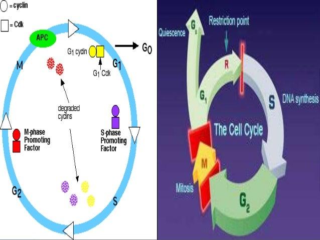 Printables Cell Cycle Regulation Worksheet cell cycle regulation worksheet plustheapp and checkpoints pre k sentence worksheets free printable math mibb