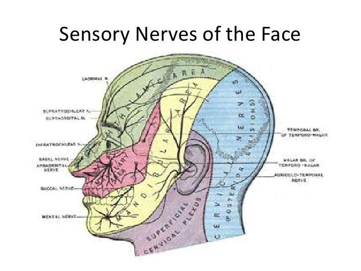 Maxillary Nerve Anatomy 9485563 Togelmayafo