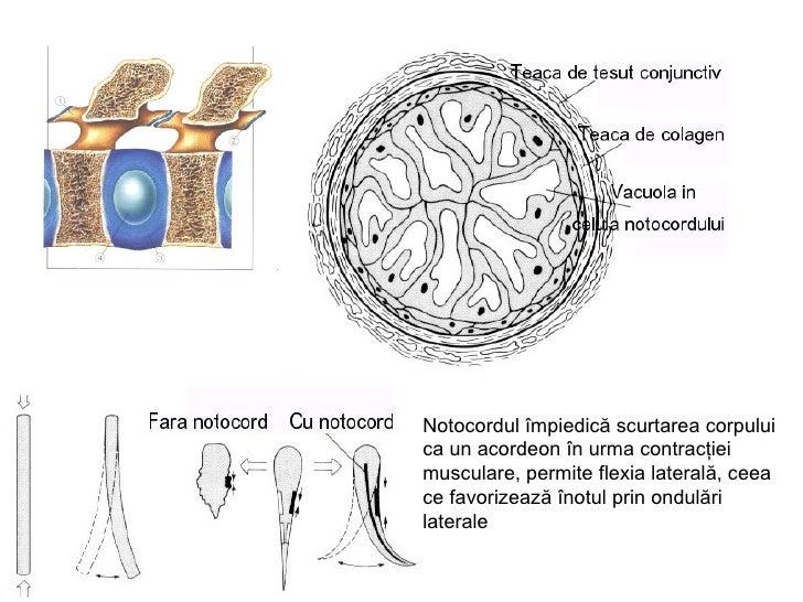 Scheletul axial la vertebrate