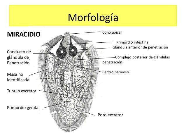 Schistosoma haematobiu...